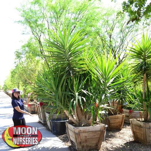 yucca_gloriosa_nursery