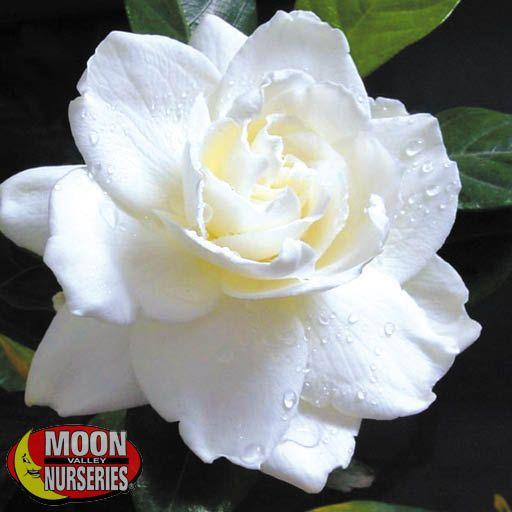 everblooming_gardenia_571x571