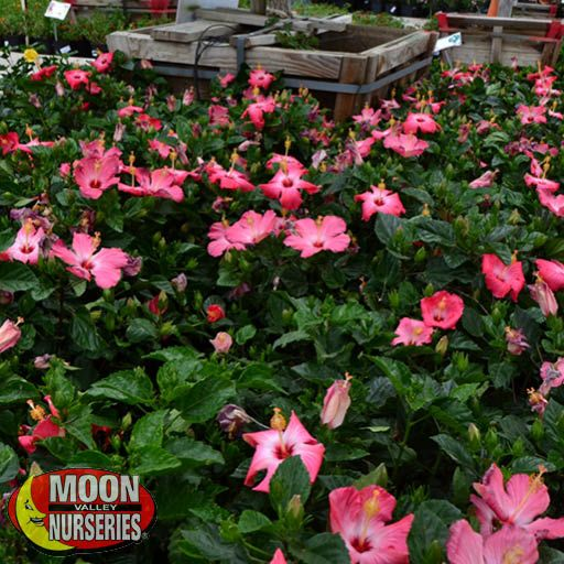 hibiscus_pink_section