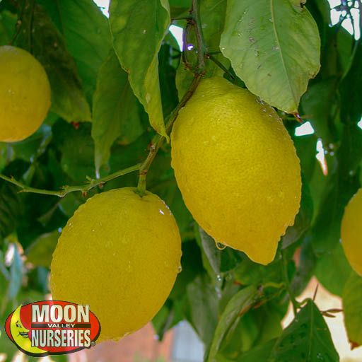 lemons_hanging_on_tree_edited_2019_571x571