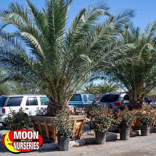 pineapple_palm_cspec_mesa_az_571x571