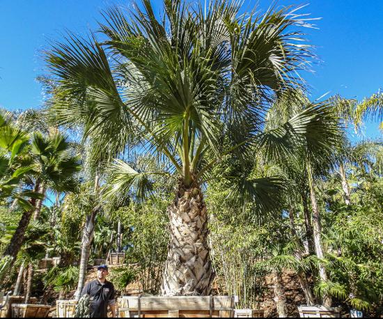 ESP Sabal Palm@2x