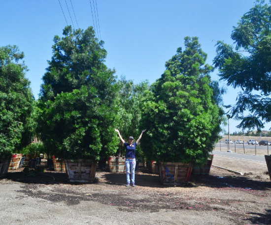 Podocarpus bspec group with person