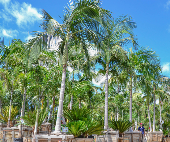 king palm single trunk