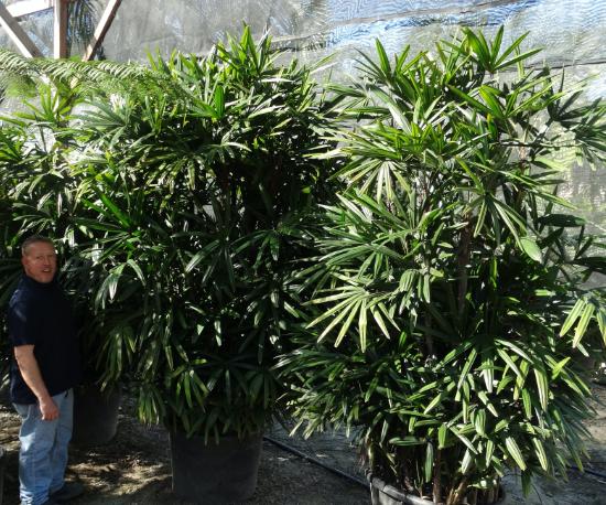 rhapis palms 30g jumbo with person@2x