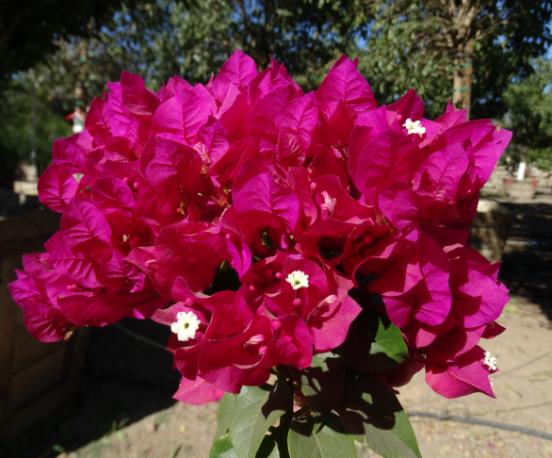 Bougainvillea bloom up close