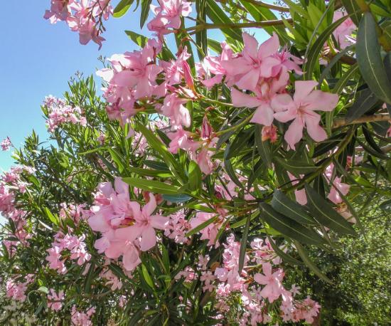 Tatum Pink Oleander Spec Trees@2x