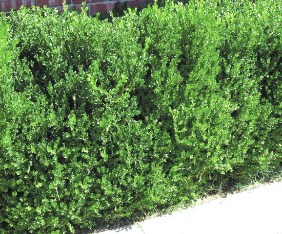 japanese boxwood@2x